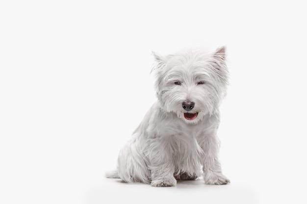 De west highland terrier hond voor witte studio achtergrond