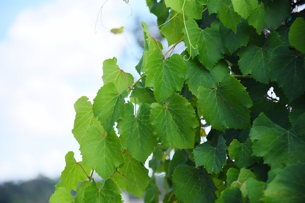 De wijnstok groene bladeren van de druif op tak tropische installatie in de wijngaard