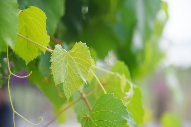 De wijnstok groene bladeren van de druif op tak tropische installatie in de wijngaardaard