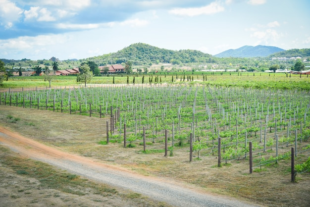 De wijnstok van het landschap het groeien in de wijngaarden die landbouw planten