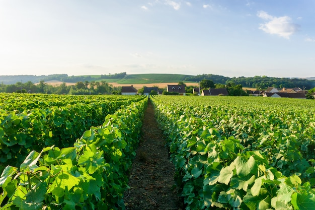 De wijnstokdruif van de rij in champagnewijngaarden bij het plattelandsdorp van montagne de reims