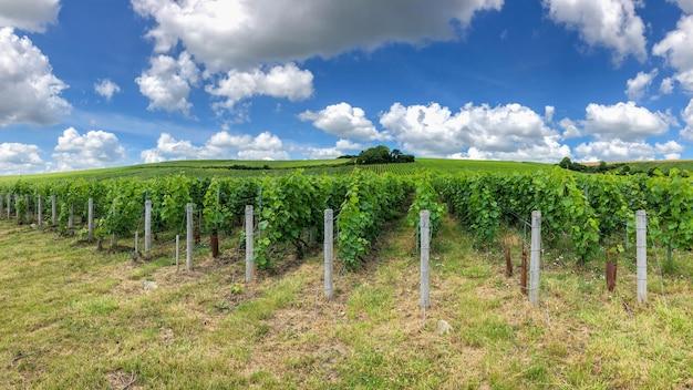 De wijnstokdruif van de rij in champagnewijngaarden bij montagne de reims, frankrijk