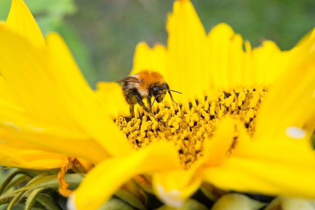 De wilde bij verzamelt stuifmeel, nectar in gele zonnebloembloem, selectieve nadruk