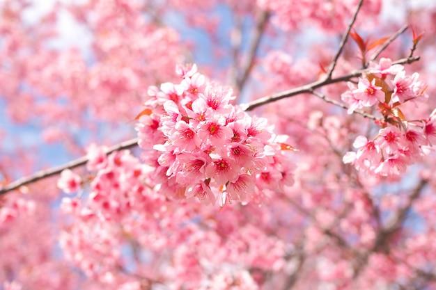 De wilde himalayan kers komt in lentetijd tot bloei, roze sakurabloem voor achtergrond