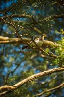 De wilde zangvogel zit op een tak van de pijnboomboom in de bos natuurlijke achtergrond.