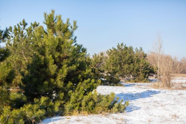 De winter naaldbos, groene kerstbomen in een open plek die met sneeuw wordt uitgestrooid