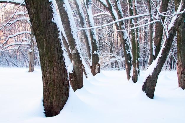 De winterbos in sneeuwbanken, onbegaanbaar struikgewas van bomen in de winter bij zonsondergang.