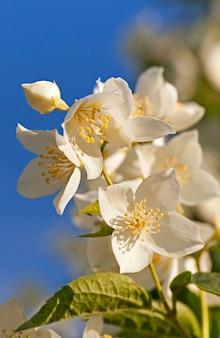 De witte bloemblaadjes van een jasmijn, close-up
