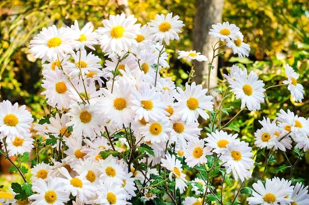 De witte kamillechrysant bloeit dag van de close-up de zonnige herfst