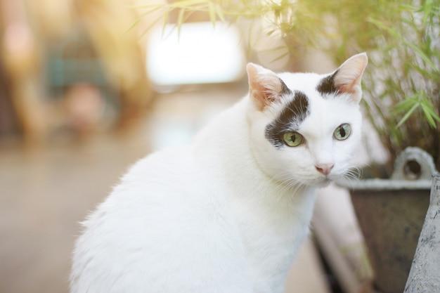 De witte kat geniet van en ontspant op houten vloer met natuurlijk zonlicht