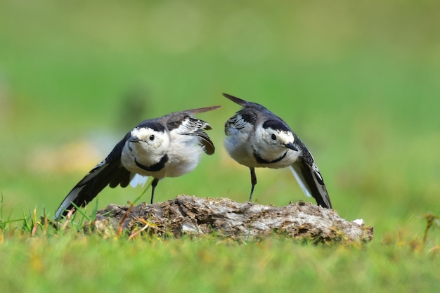 De witte kwikstaart is een kleine zangvogel uit de familie motacillidae, die ook pipits en longclaws omvat.