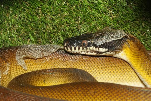 De witte lippen python slang in de tuin