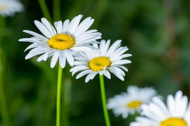 De witte margriet bloemen op de achtergrond van groen gras
