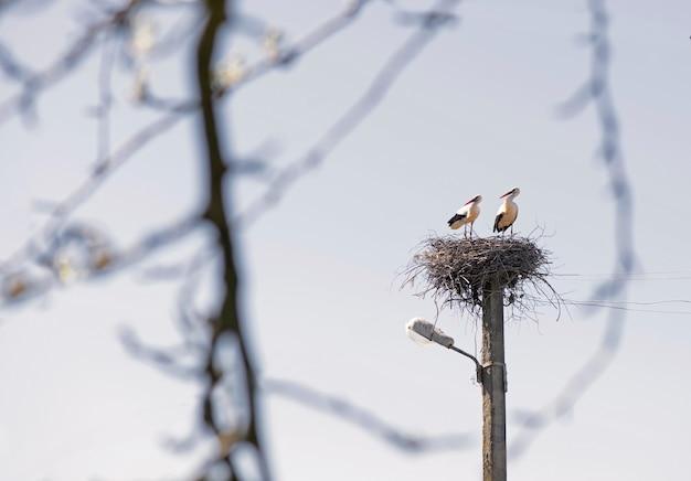 De witte ooievaars door nestbouw. voorjaar.