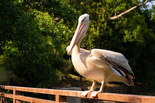 De witte pelikaan die in het vogelpark leeft, zit op de reling van de brug