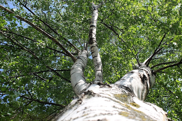 De witte russische berk is van onder naar boven gefotografeerd. zonnige zomerdag. heldere sappige bladeren. weelderige, grote, mooie takken.