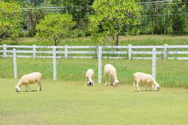 De witte schapen eten gras in de boerderijboom en hekken.