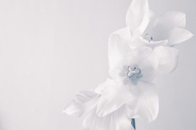 De witte tulpen sluiten omhoog
