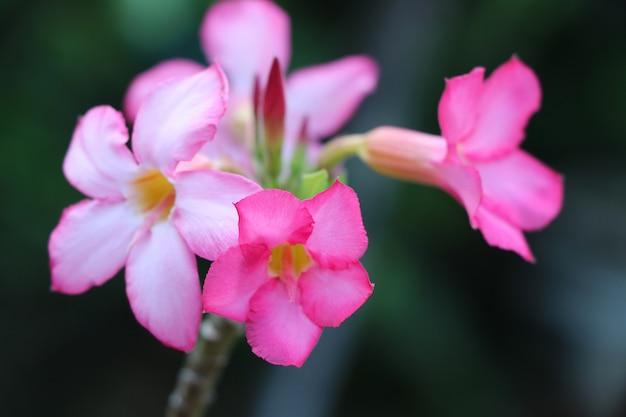 De woestijn nam roze kleuren uiterst kleine bloemen en versheid in de zomerclose-up op aardachtergrond toe