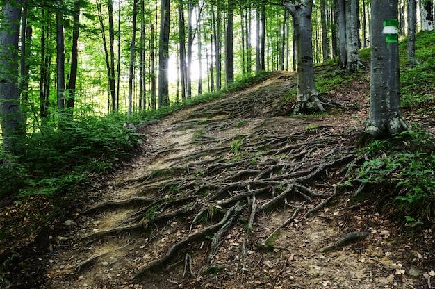 De wortels van de bomen liggen op de grond