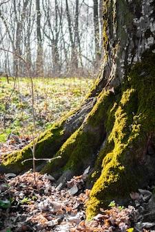 De wortels van de oude boom bedekt met mos in het voorjaar forest