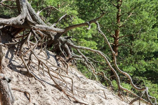 De wortels van de oude dennen steken uit het zand