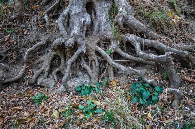 De wortels van een grote boom kropen uit de grond