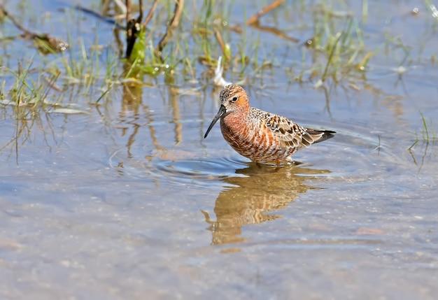 De wulpstrandloper (calidris ferruginea) close-upportretten. vogels voeden zich in ondiep water in prachtig blauw water.