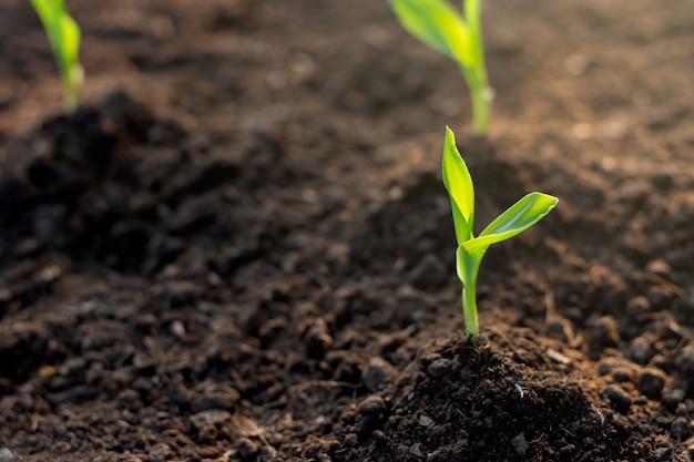 De zaailingen van maïs groeien uit de grond.