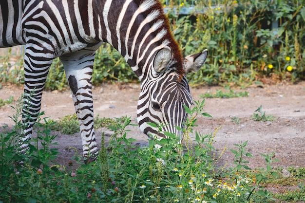 De zebra graast op het groene gras. de wilde natuur_