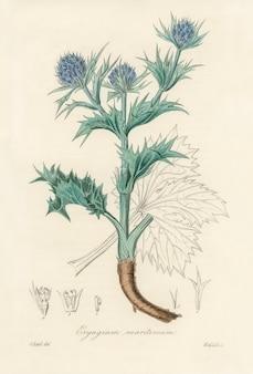 De zeehulst (eryngium maritimum) illustratie van medical botany (1836)