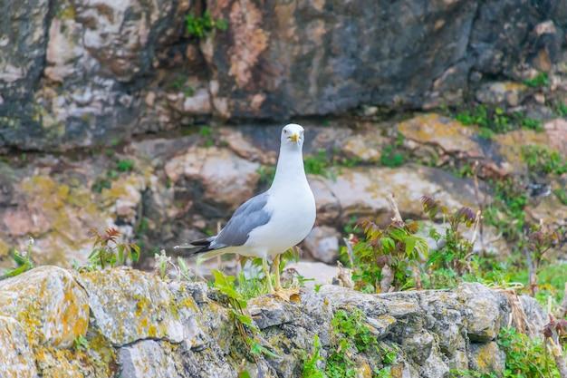 De zeemeeuw zit op de muren van het fort van mamula montenegro, boka-kotor bay.