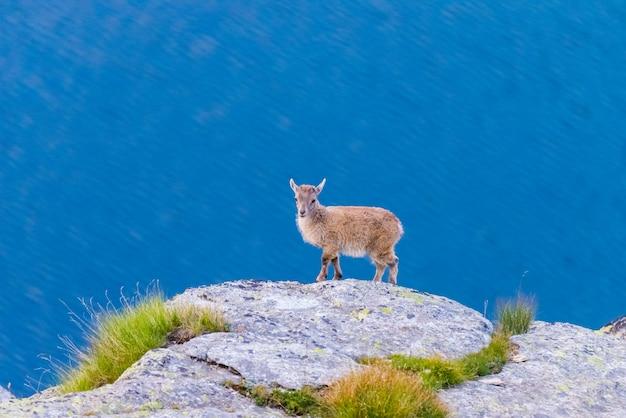 De zeer jonge steenbok streek op rots neer bekijkend de camera met blauw meer