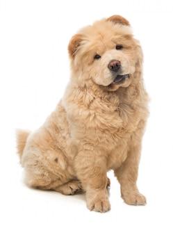 De zitting die van de jonge hondchow-chow vooruit kijken