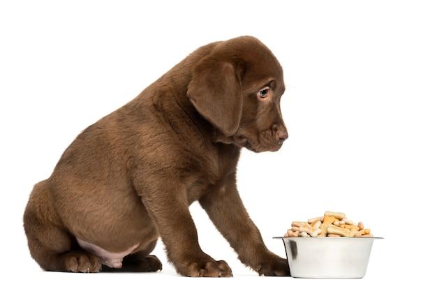De zitting van het labrador puppy met volledige hondkom