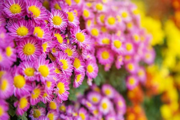 De zomer of de lente de mooie tuin met madeliefje bloeit achtergrond