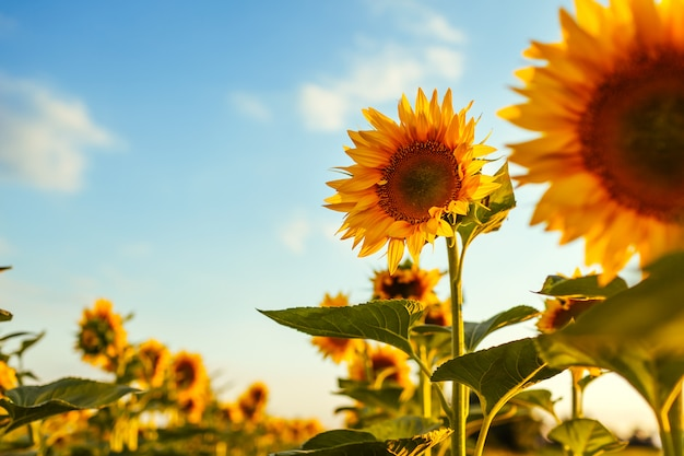 De zomergebied van bloeiende zonnebloemen bij zonsondergang met blauwe hierboven hemel.