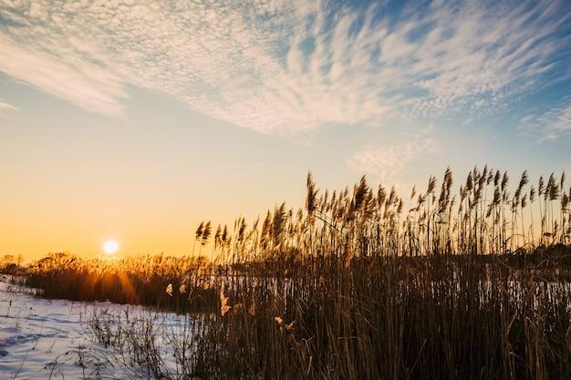De zon over het riet van het meer in de winter