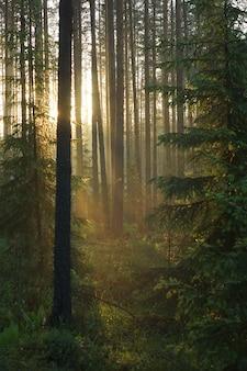 De zonnestralen dringen door de dennen en bomen en kleuren het bos in een warme kleur, een prachtige zonsopgang in het groene bos.
