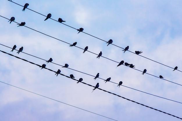 De zwaluwkudde zit op elektrische draden