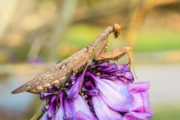 De zwangere bruine sprinkhaan is op de paarse bloem.