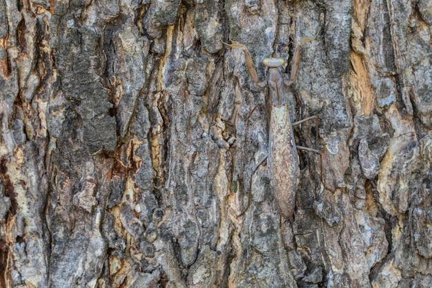 De zwangere bruine sprinkhaanhuid bevindt zich op de schorsboom.