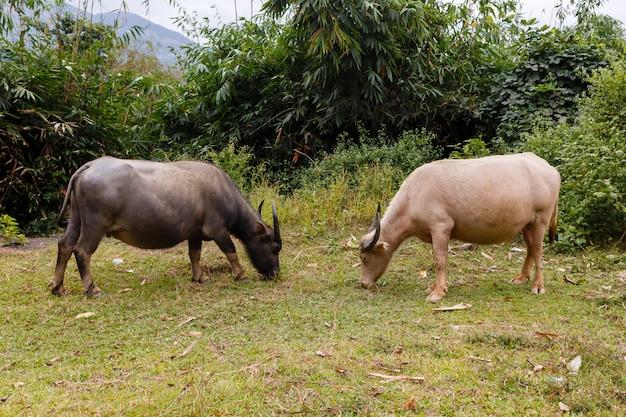 De zwart-witte vietnamese waterbuffel eet gras