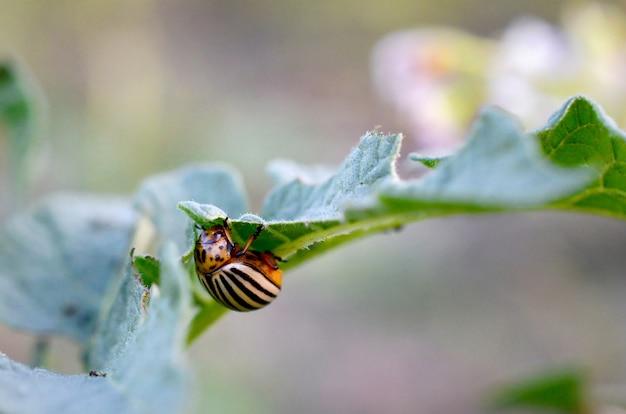 Decemlineata die van de coloradokever leptinotarsa van colorado op aardappelbladeren kruipen