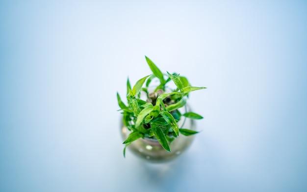 Decoratie indoor groen plant lucky bamboo Premium Foto