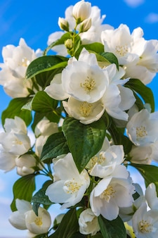 Decoratieve bush jasmijn bloemen op een achtergrond van blauwe hemel close-up floral feestelijke achtergrond