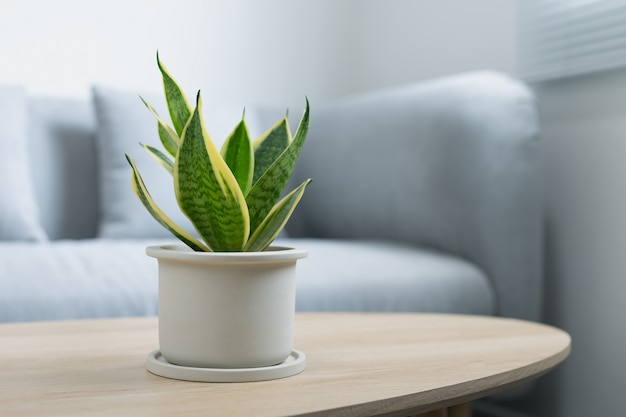 Decoratieve sansevieria plant op houten tafel in de woonkamer