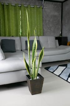 Decoratieve sansevieria-planten in het interieur van de kamer, planten voor het zuiveren van de lucht.