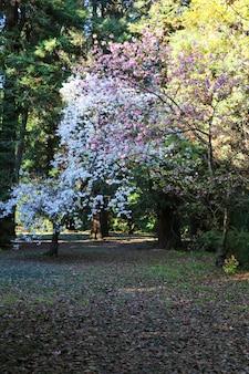 Decoratieve tuin met bloeiende grote kersenbomen. kersenbloesems in wit en roze, bomen in het park in de lente