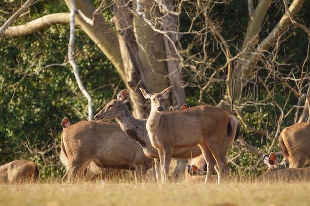 Deers in het wild, phu-keaw natiepark, chaiyaphum thailand